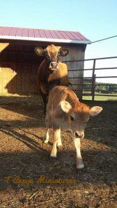 First Calf Heifer